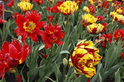 Tulips, Gerber Daisy, Flowers, Blossom, Fresh, Floral