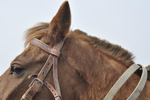 Horse, Animal, Eye, Earhead, Fur, Ear, Head, Bridle