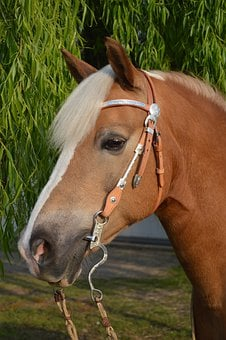 Haflinger, Horse, Horse Head, Attention, Friendly
