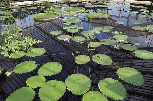 Basin, Water Lilies, Large Round Leaves, Purple Flowers