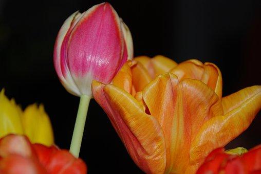 Tulip, Flower, Nature, Leaf, Spring, Floral, Blossom