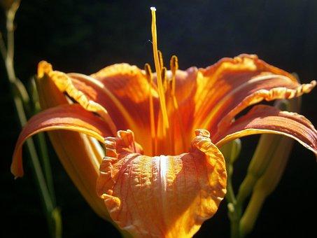 Lily, Lilies, Lilium, Blossom, Bloom, Flower, Filigree
