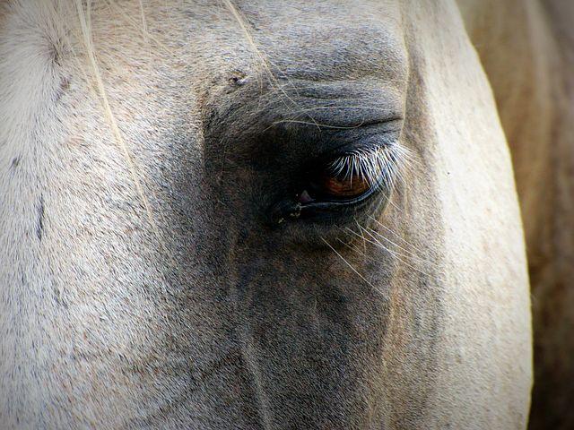 Horse, Face, Eye, Stallion, Equine, Equestrian, Mane