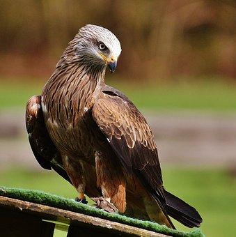 Red Kite, Milvus Milvus, Animal World, Raptor