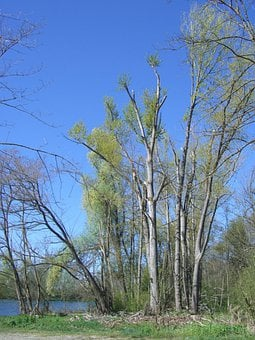 Shoots After Tops, Spring, Riparian Zone, Storm Damage