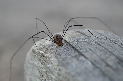 Spider, Granddaddy Longlegs, Invertebrate, Arachnida