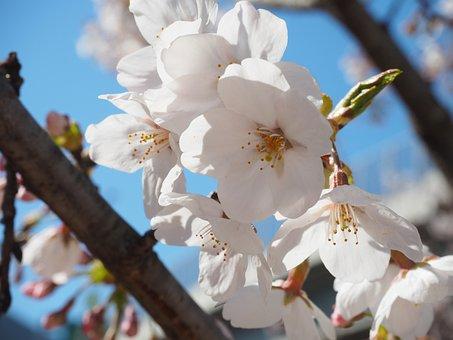 Cherry Blossoms, Yoshino Cherry Tree, Flowers, Spring