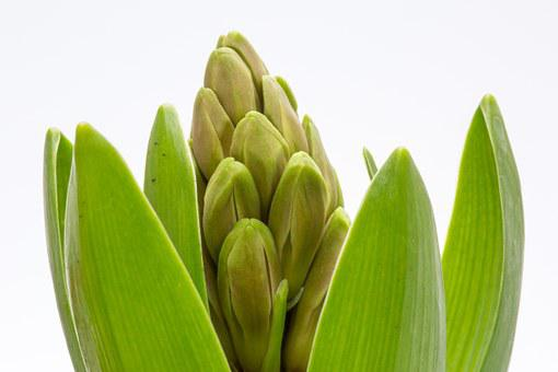Hyacinth, Spring, Green, Hyacinth Buds, Plant, Nature