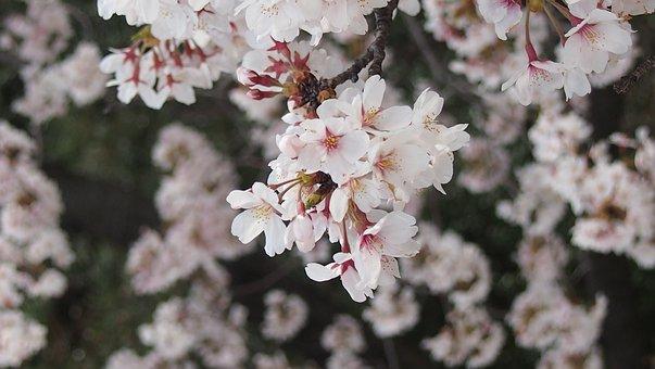Cherry Blossoms, Yoshino Cherry Tree, Spring In Japan