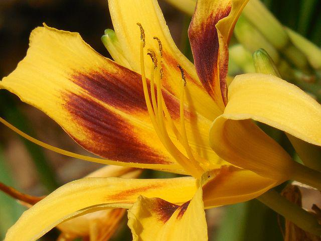 Day Lily, Flower, Day, Lily, Spring, Floral, Nature