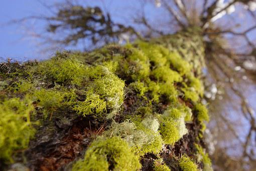 Moss, Tree, Forest, Green, Nature, Trunk, Tree Trunk