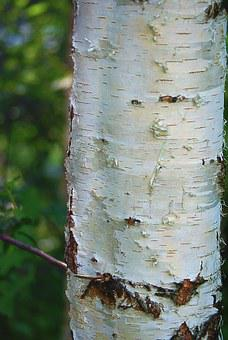 Birch, Trunk, Birch Trunk, The Bark, White, Plant