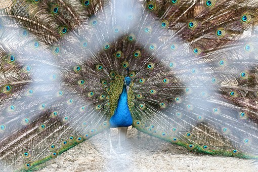 Peacock, Feathers, Zoo, Bird, Animal, Nature, Male