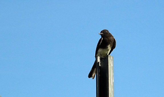 Black Phoebe, Sayornis Nigricans, Bird, Flycatcher