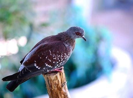 Speckled Pigeon, Pigeon, Bird, Perch, Nature, Wildlife