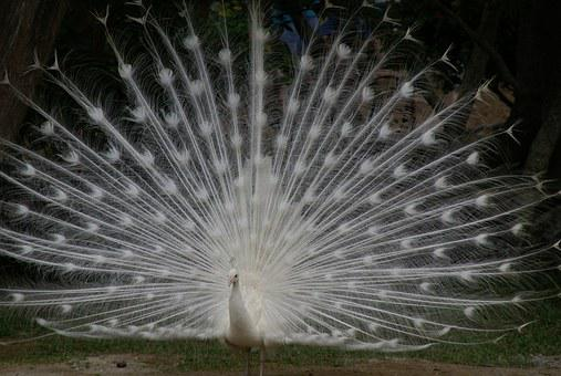 White Peacock, Tail Spread, Plumage, Bird, Feather