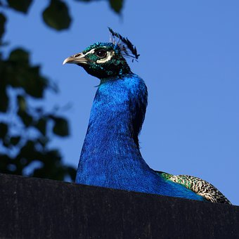 Pavo Cristatus, Peacock Male, Blue, The Plume From The
