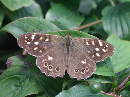 Butterfly, Speckled Wood, Nature