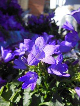 Bellflower, Campanula, Blue Bellflower, Plants