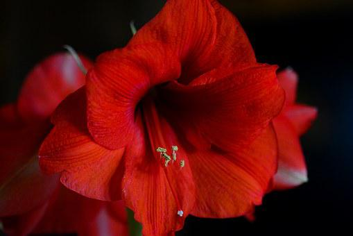 Red, Houseplant, Close Up, Flower, Blossom, Bloom