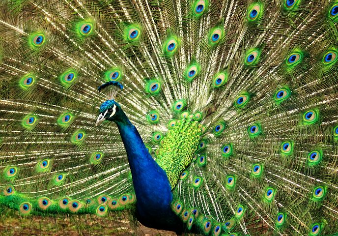 Peacock, Blue, Green, Feather, Nature, Animal, Colorful