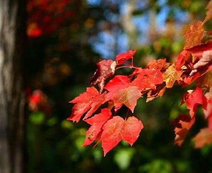 Maple Leaves, Fall, Autumn, Colorful, Red, Tree