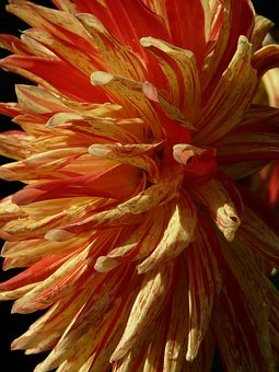 Dahlia Garden, Dahlia, Flower, Blossom, Bloom, Red