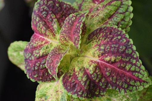 Ornamental Perilla, Colorful, Double Leaf, Plant, Green