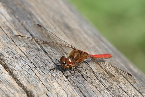 Dragonfly, Red, Macro, Nature, Insect, Predator