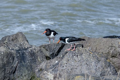 Birds, Oystercatcher, Fauna, Two, Sea, Rocks, Coast