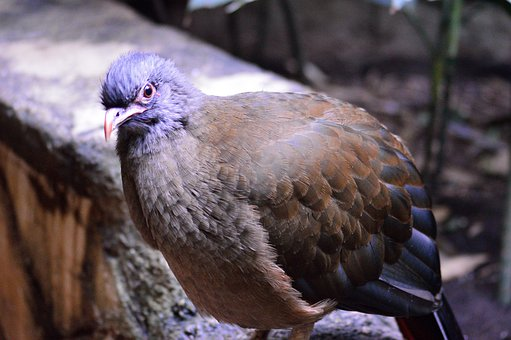 Speckled Pigeon, Exotic, Bird, Fly, Wings, Feather