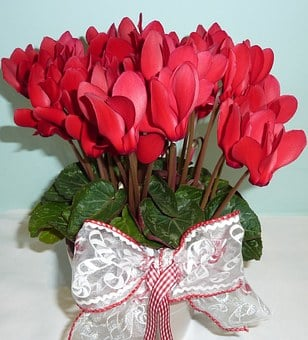 Cyclamen, Red Flower, Flower, Plant, Petal, Gift, Leaf