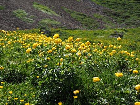 Globe Flower, Troll Blumenfeld, Flowers, Yellow