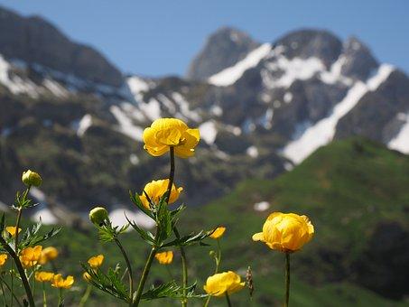 Globe Flower, Flowers, Yellow, Trollius Europaeus