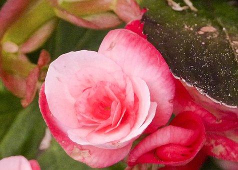Begonia, Flower, Pink, Wax Like, Fragrant, Flower Head