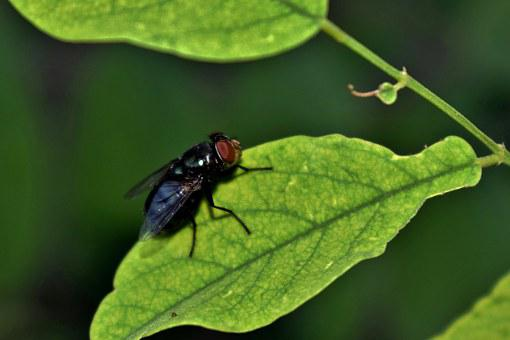Fly, Housefly, Insect, Insectoid, Leaf, Close Up, Small