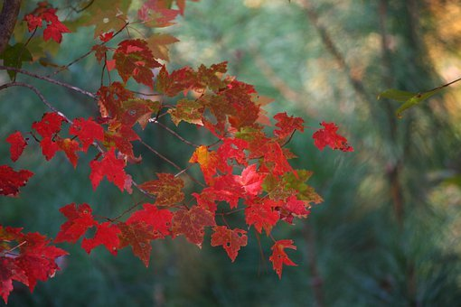 Maple Leaves, Fall, Autumn, Red, Tree, Cascade, Pattern