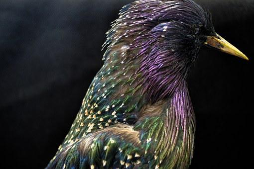 Starlings, Starling, European, Nature, Bird, Feathers