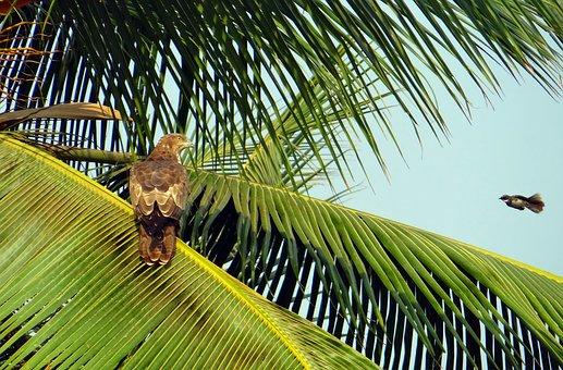Bird, Oriental Honey Buzzard, Crested Honey Buzzard