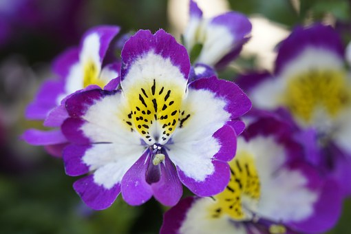Bauernorchidee, Ornamental Flower, Ornamental Plant