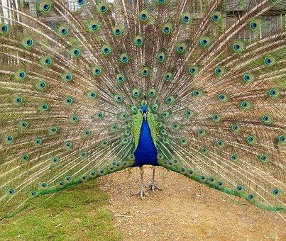 Peacock, Bird, Blue, Feather, Nature, Animal, Pattern