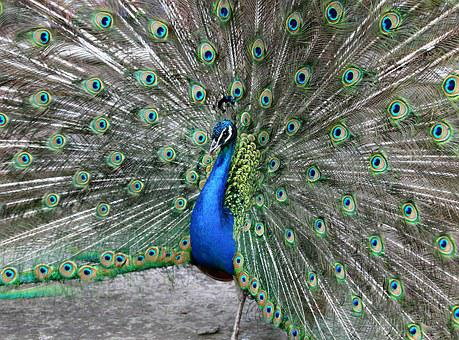 Peacock, Tail, Male, Peacock's Tail, Feathers, Bluebird