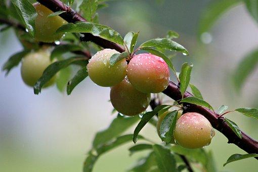 Wild, Plums, Plum, Tree, Close-up