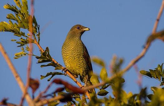Satin Bowerbird, Bird, Ptilonorhynchus Violaceus
