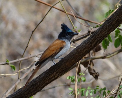 Asian Paradise Flycatcher, Bird, Pune, India