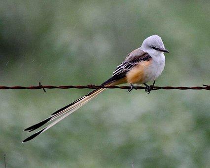 Forficatu, Tyrannus, Bird, Flycatcher, Tailed, Scissor
