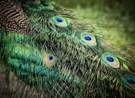 Peacock, The Motif Of A, Feather, Color, Beautiful