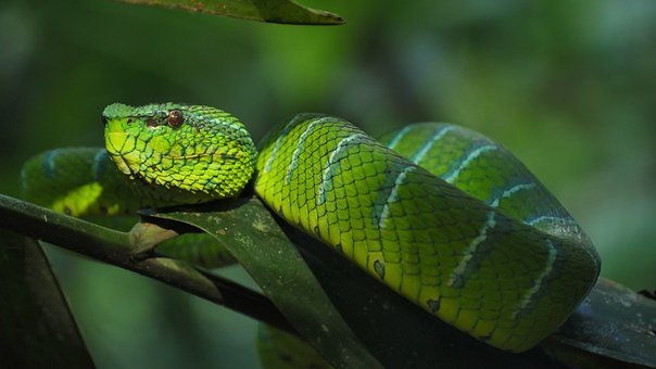 Snake, Trimeresus Subannulatus, Trimeresus, Viper