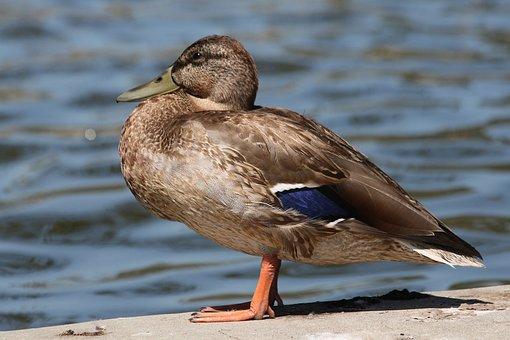 Mallards, Female, Birds, Brown, Feathers, Wings, Ducks