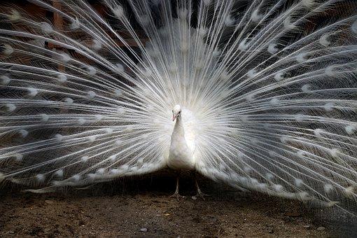 Peacock, Feathers, Zoo, Bird, Animal, Nature, Male